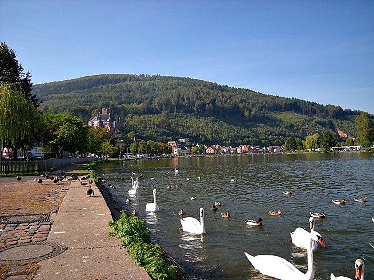 Swans and ducks castle Miltenberg Germany